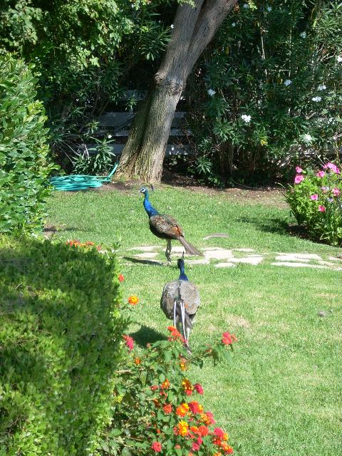 Peacocks in Palos Verdes